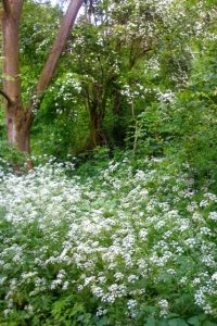 May blossom and cow parsley
