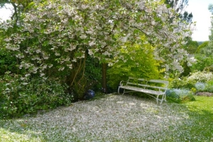 Cherry blossom, on the tree, on the ground