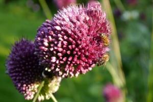 Allium sphaerocephalon with bees