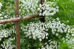 Bishop's flower 'Ammi mujus'
