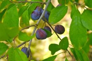 Damson 'Cheshire Prune'