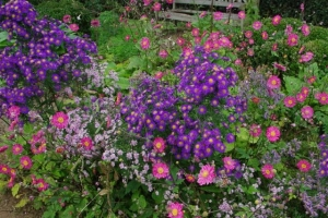 Asters and japanese anemones at Jardin Plume.