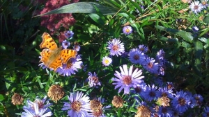 Michaelmas daisy and comma butterfly