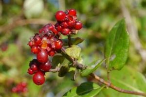 Honeysuckle berries, good for birds, toxic for people.
