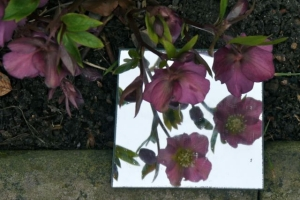 Hellebores adminring their refections in a mirror.