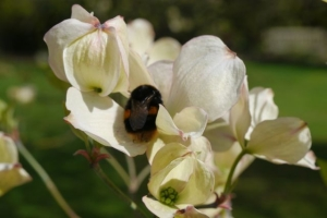 Cornus kousa and bee.