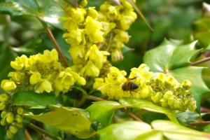 Mahonia with early bee
