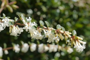 Osmanthus delavayi - deliciously scented.