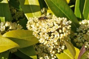 Skimmia 'Kew Green' with bee.