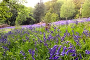 Wild English Bluebells