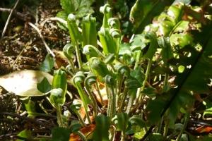 Emerging hart's tongue fern