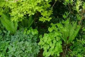 Shuttlecock fern, epimedium, geranium, philadelphus and azalea, a green combination.