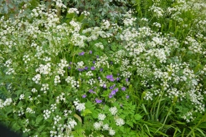 Sweet cicely, cow parsley and geranium - a May medley
