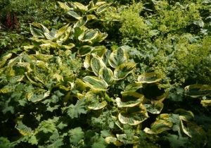 Variegated hosta and Lady's' Mantle