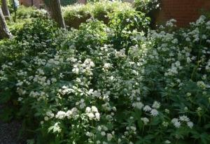 White astrantia in woodland