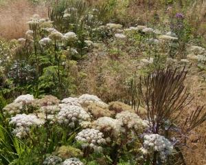 Selinum wallichianum at the Oudolf garden at Hummelo.