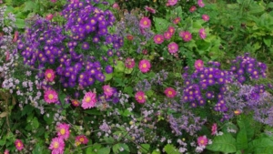 asters and japanese anemones