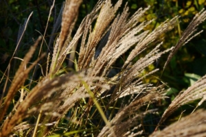Miscanthus sinensis seed heads