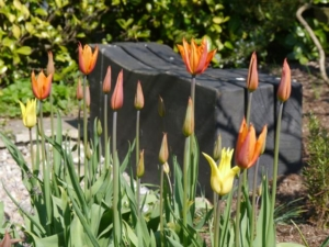 Tulips 'Balerina' and 'West Point'