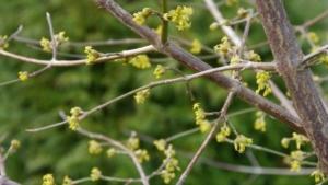 Cornus mas, tiny scented flowers