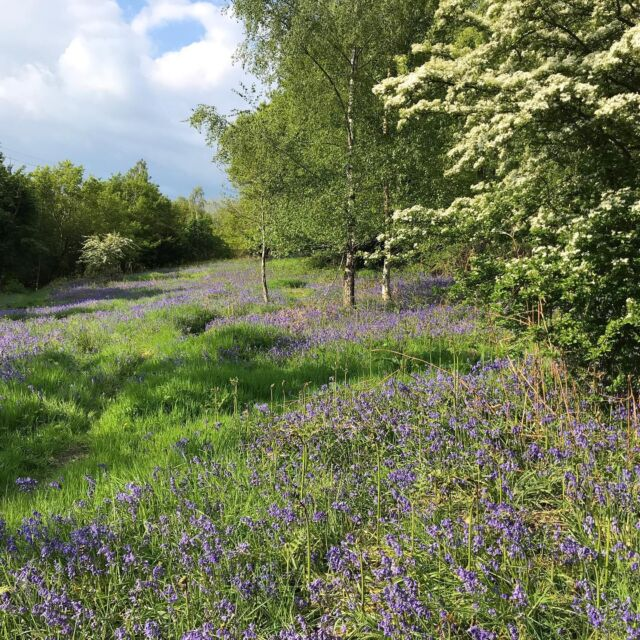 One week and 10 degrees warmer. The Spring rush is on. #bluebells #hawthorn  #wildflowersuk  #springflowers
