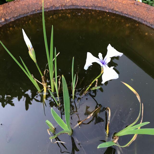 Iris ensata - such subtle colours. #inmygarden  #irisensata  #steelbowl