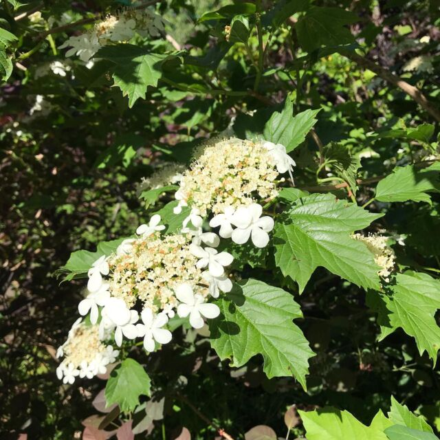 Guelder rose - recovered from Viburnum beetle attack and in full flower. Looking forward to the shiny red berries later on. #viburnumopulus  #whiteflowers