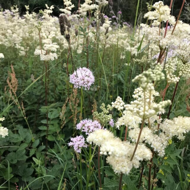 Meadow sweet and Valerian on the banks of the Tay during an evening stroll. #meadows #meadowsweet  #valerian #scotlandswildflowers  #rivertay #highlandperthshire