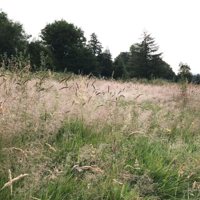 Grasses and thistles  #meadows #aberfeldy #highlandperthshire  #summermorning