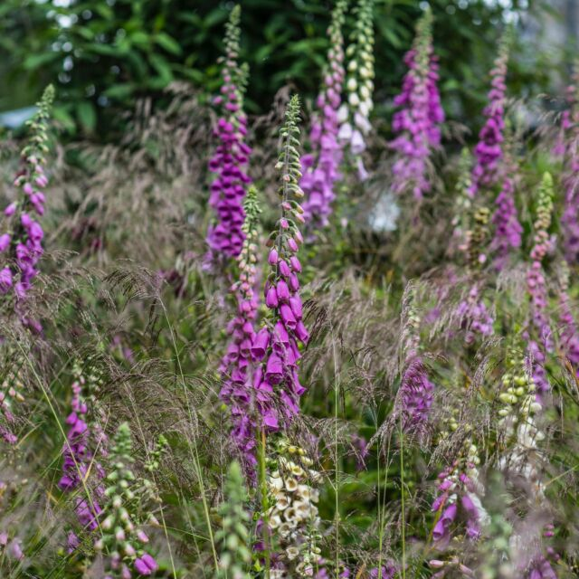 A border I planted a couple of years ago. The foxgloves are a happy accident. The talented @jilljphoto has brought out the tones and textures. #greatphotographer  #gardendesign #societyofgardendesigners  #cirsiumrivulare  #deschampsia #foxgloves #scottishwildflowers