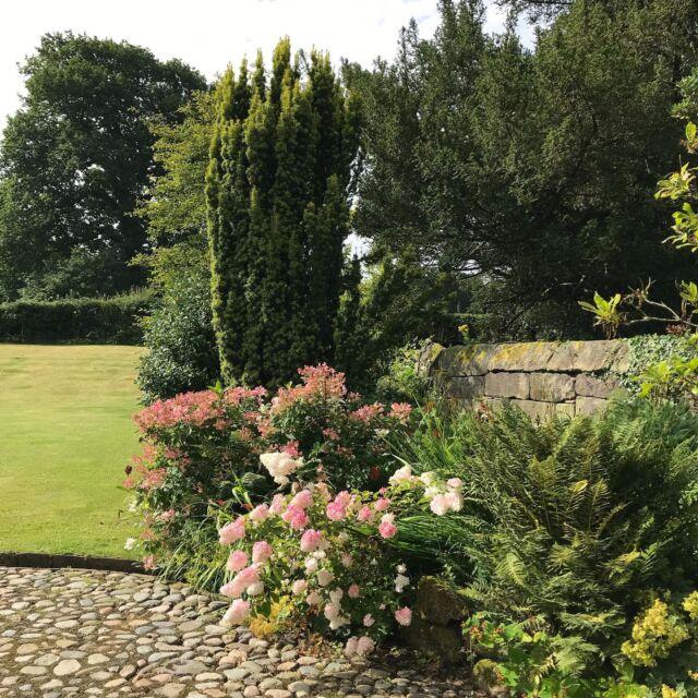 Hydrangeas in the pink. Revisit to an old design.  #hydrangeas #cheshiregardens #societyofgardendesigners  #gardendesign
