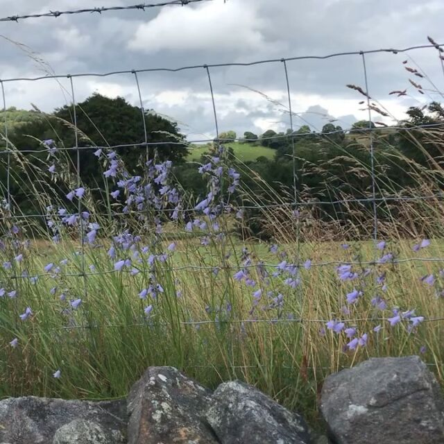 Hear those harebells  #rainow #wildflowers #harebells