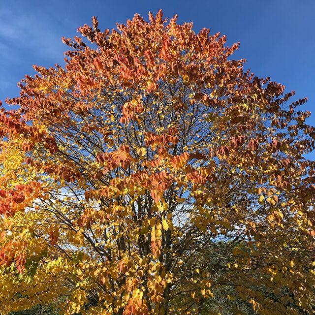 Katsura , Cercidiphyllum japonicum, the fallen leaves smell of toffee.  #highlandperthshire  #aberfeldy #autumncolour #katsuratree