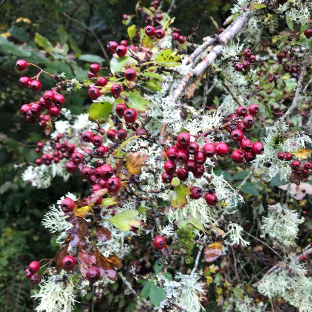 Hawthorn and lichen.  #hawthorn #lichen #aberfeldy #highlandperthshire